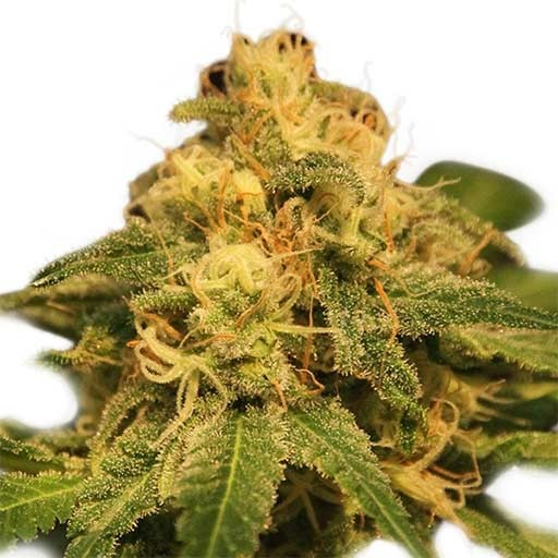 Choose from the best variety of autoflowering seeds of Royal queen seed